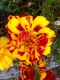 Amarillo y rojo Imagen de archivo