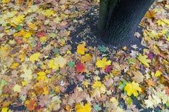 Amarillo y rojo deja el árbol de arce caído en otoño Fotos de archivo