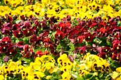 Amarillo y rojo florece el fondo Imagen de archivo libre de regalías
