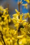 Amarillos de Bush de la primavera amarilla Imagen de archivo