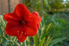 Amarillys blomma i tr?dg?rden hemma royaltyfri fotografi