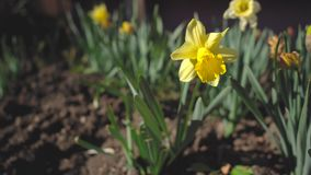 Amarillys flower in the garden at home stock footage