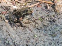 Amarre la rana cogió una libélula Fotografía de archivo