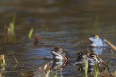 Amarre las ranas imagen de archivo