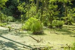 Amarrez dans la forêt de hêtre du parc national de Jasmund près de Sassn images stock
