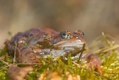 Amarrez la grenouille images libres de droits