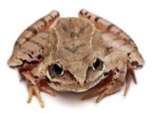 Amarrez la grenouille, arvalis de Rana, devant le fond blanc photos libres de droits