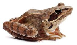 Amarrez la grenouille, arvalis de Rana, devant le fond blanc image stock