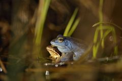 Amarrez la grenouille au printemps photographie stock