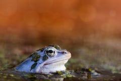 Amarrez la grenouille dans la couleur de accouplement image libre de droits