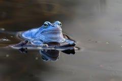 Amarrez la grenouille dans le sauvage images libres de droits