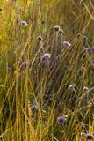 Amarrez le caerulea de molinie d'herbe et le scabiosa de lilas images stock