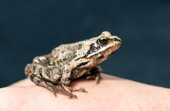 Amarrez les arvalis de Rana de grenouille se reposant sur une main du ` s d'homme photo libre de droits