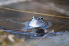 Amarrez les grenouilles dans la couleur bleue à la saison d'accouplement image libre de droits