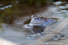 Amarrez les grenouilles dans la couleur bleue à la saison d'accouplement images stock