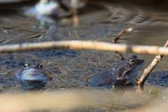 Amarrez les grenouilles dans la couleur bleue à la saison d'accouplement image stock