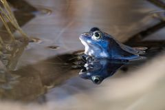 Amarrez les grenouilles dans la couleur bleue à la saison d'accouplement photos libres de droits