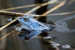 Amarrez les grenouilles dans la couleur bleue à la saison d'accouplement photos stock