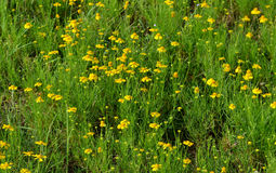 Amarum Helenium Стоковые Фото
