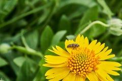 Amarum Helenium Sneezweed красивой дикой весны желтое с личинкой Ladybug на цветени и зеленой предпосылке стоковые фото