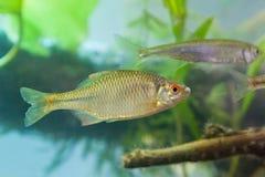 Amarus de Rhodeus, el bitterling europeo, pescado de agua dulce, varón en la coloración de freza, acuario del biotopo, foto de la fotografía de archivo libre de regalías