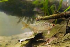 Amarus de Rhodeus, el bitterling europeo, pescado de agua dulce, varón en la coloración de freza, foto del acuario del biotopo fotos de archivo