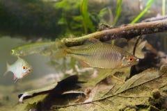 Amarus de Rhodeus, el bitterling europeo, pescado de agua dulce, varón en la coloración de freza, foto del acuario del biotopo foto de archivo