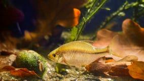 Amarus de Rhodeus, el bitterling europeo, pescados de agua dulce salvajes extensos y pictorum del Unio, el mejillón del pintor, b imagen de archivo