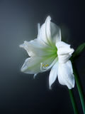 Amarylis - flor de Lilia Fotos de archivo