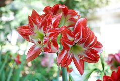 Red Amarylis flower. Amarylis flower, full bloom in a tropical botanical garden. Hippeastrum Amaryllis stock photography