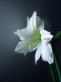 amarylisblomma lilia Arkivfoton