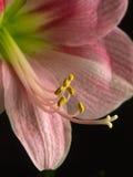 amaryliss różowy kwiat Fotografia Royalty Free