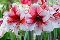 Amarylisu kwiat, czerwony obr?cz fotografia royalty free