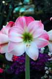 amarylka różowe kwiaty jabłczane obraz stock