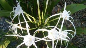 """ณ à¸à¸  พลับพลึภ‡ ตีนà"""" amaryllidaceae ‡ ¹ à› ¹ €à¸ ภStock Afbeelding"""