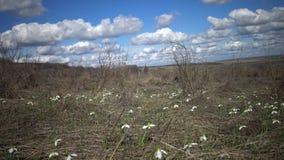 Amaryllidaceae, Amaryllidoideae, elwesii de Galanthus almacen de metraje de vídeo