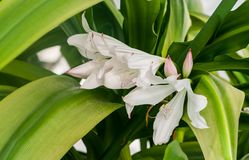 Amaryllidaceae crinum moorei hook. f., three blossoming large white with a pink tinge of a flower Royalty Free Stock Photo