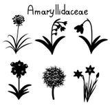 Amaryllidaceae plant family Royalty Free Stock Photo