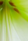 Amaryllis à l'intérieur Images stock