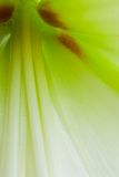 Amaryllis μέσα Στοκ Εικόνες