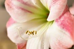 Amaryllis στην άνθιση Στοκ Φωτογραφίες