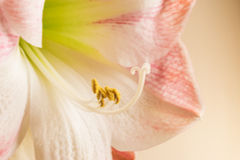 Amaryllis στην άνθιση Στοκ Φωτογραφία