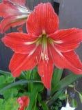 amaryllis stock afbeelding