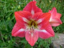 amaryllis Imagens de Stock