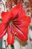 amaryllis Foto de archivo libre de regalías