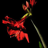 amaryllis στοκ εικόνες