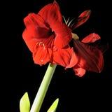 Amaryllis Stock Image