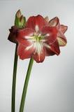 amaryllis Royaltyfria Foton