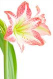 Amaryllis. The blooming red Amaryllis - detail stock photos