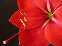 Amaryllis Photo stock
